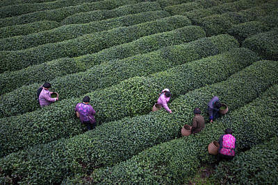 Photograph - Tea Pluckers Picking Tea Leaves In by Xia Yuan
