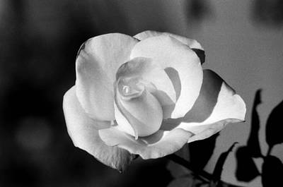 Photograph - Tea Rose 01 - Infrared by Pamela Critchlow