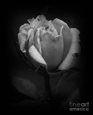 Photograph - Tea Rose Bw by Chalet Roome-Rigdon