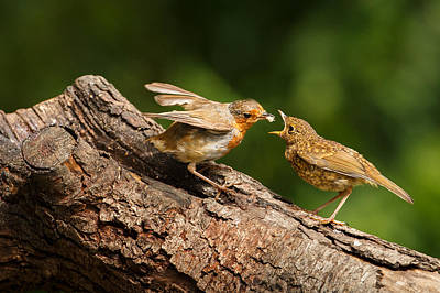 Feeding Young Photograph - Tea Time For Robins by Izzy Standbridge