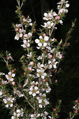 Tea Tree Flower Photograph - Tea Tree Blossom by Graham Palmer