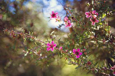Tea Tree Photograph - Tea Tree Flowers by April Reppucci