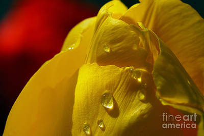 Photograph - Seriously Yellow 2 - Tears On A Tulip by Wendy Wilton