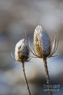 Photograph - Teasel And Ice by Jim West