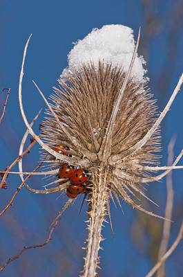 Teasel And Ladybirds Art Print by Science Photo Library