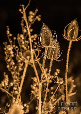 Photograph - Teasel Thistle 2 Of 3 by Brad Marzolf Photography