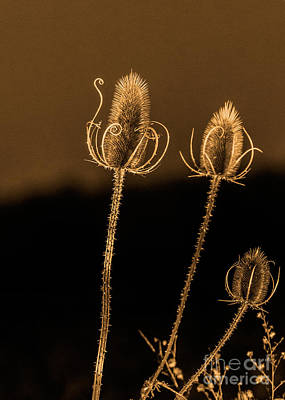 Photograph - Teasel Thistle 3 Of 3 by Brad Marzolf Photography