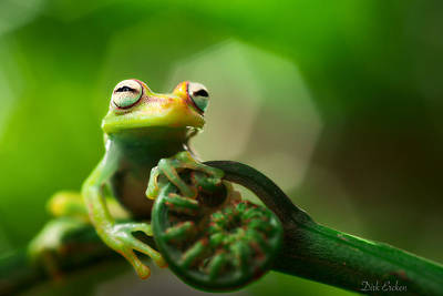 Frogs Photograph - tree frog Hypsiboas punctatus by Dirk Ercken