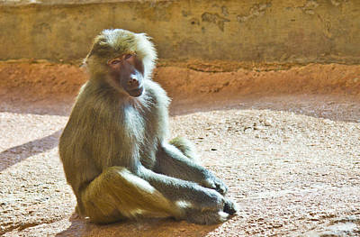 Photograph - Teen Baboon by Jonny D