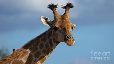 Photograph - Teen Giraffe With A Style by Mareko Marciniak