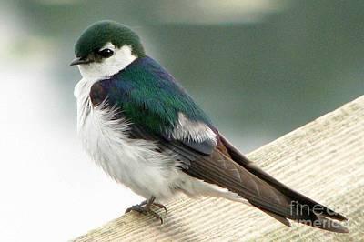 Violet-green Swallow Art Print