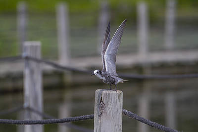 Sports Royalty-Free and Rights-Managed Images - Teenage Black Tern by David Tennis