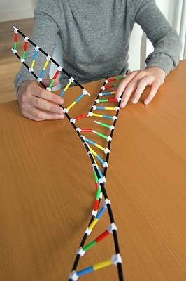 Teenagers Photograph - Teenager Demonstrating Dna Replication by Lawrence Lawry