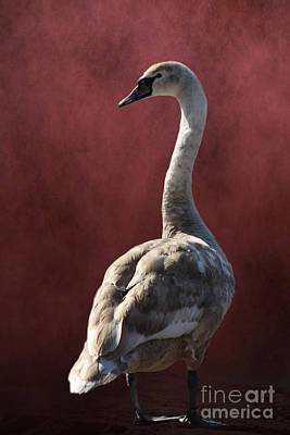 Swans Photograph - Teenager Swan by Linsey Williams