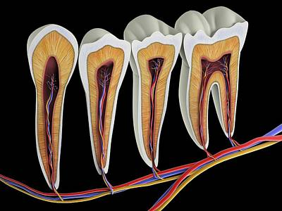 Physiology Photograph - Teeth by Alfred Pasieka