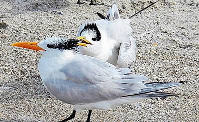 Telling Secrets Royal Terns Print by Judy Via-Wolff