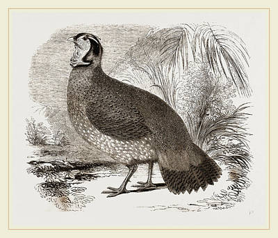 Pheasant Drawing - Temmincks Horned Pheasant by Litz Collection