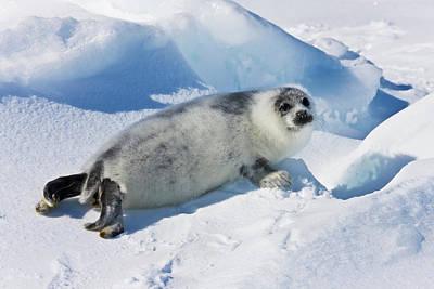 Madeleine Photograph - Ten-day-old Harp Seal Pup Fur Starting by Keren Su