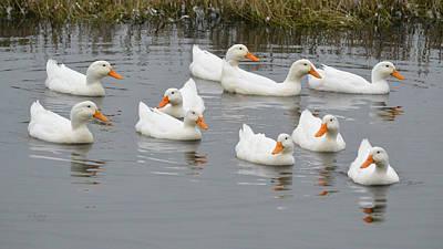 Photograph - Ten Peking White Ducks by rd Erickson