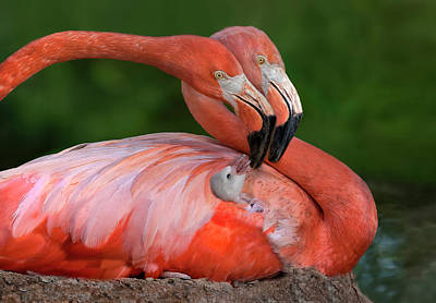 Flamingos Photograph - Tender Love by Xavier Ortega