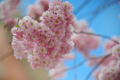 Photograph - Tender Whisper. Pink Spring In Amterdam by Jenny Rainbow