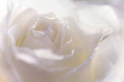 Photograph - Tender White Rose by Jenny Rainbow