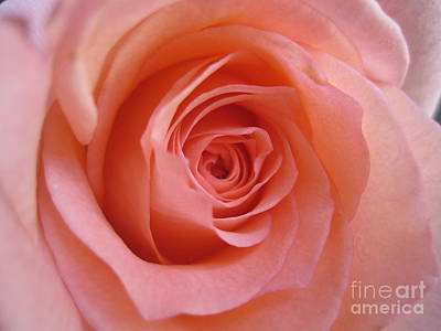 Photograph - Tenderness Pink Rose 10 by Tara  Shalton