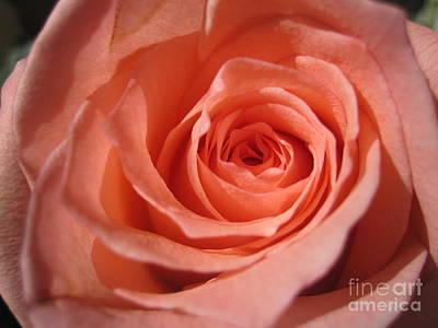 Photograph - Tenderness Pink Rose 3 by Tara  Shalton