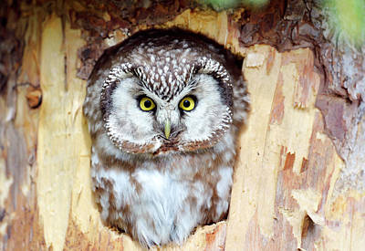 Roost Photograph - Tengmalm's Owl by Dr P. Marazzi