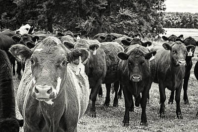 Brown Cow Photograph - Tennessee Cattle by Jon Woodhams