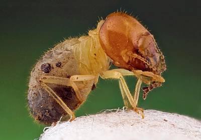 Termite Art Print