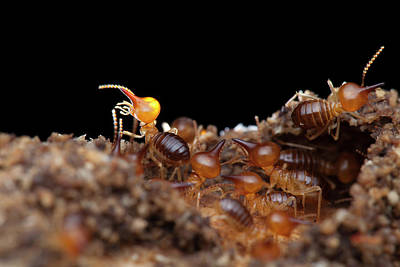 Termites Photograph - Termites by Melvyn Yeo