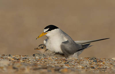 Photograph - Tern Family by Mike Fitzgerald