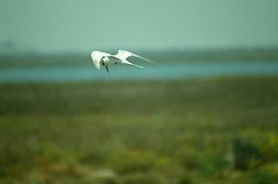 Photograph - Tern In Flight by Bonnie Muir