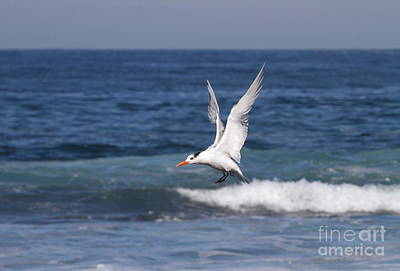 Tern In The Surf Print by Ruth Jolly