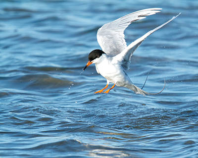 Photograph - Forster's Tern Taking Flight by Steve Kaye