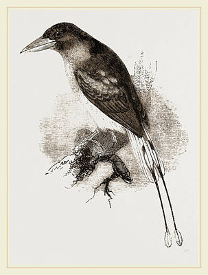 Kingfisher Drawing - Ternate Kingfisher by Litz Collection