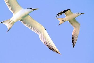 Terns In Flight Art Print
