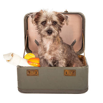 Terrier Dog In Suitcase Art Print by Susan Schmitz