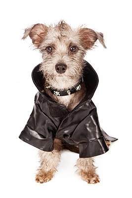 Scruffy Photograph - Terrier Dog With Spiked Collar And Leather Jacket by Susan Schmitz