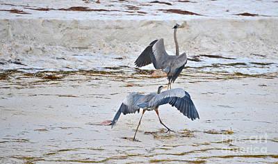 Photograph - Territorial Blue Herons by Joan McArthur