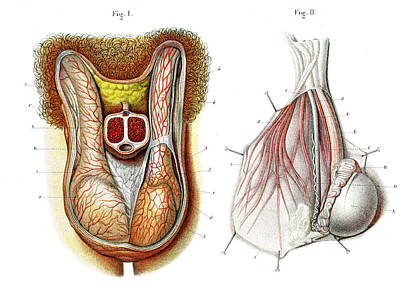 Testicles Anatomy Art Print by Collection Abecasis