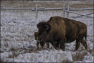 Photograph - Teton Bison And Baby by Erika Fawcett