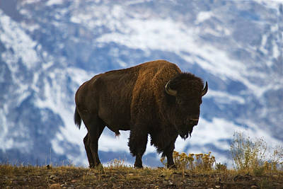Mammals Photos - Teton Bison by Mark Kiver