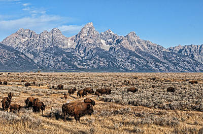 Photograph - Teton Buffalo by David Armstrong