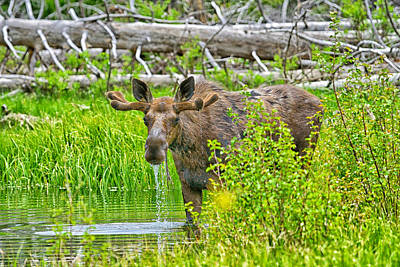 Photograph - Teton Bull Moose by Greg Norrell