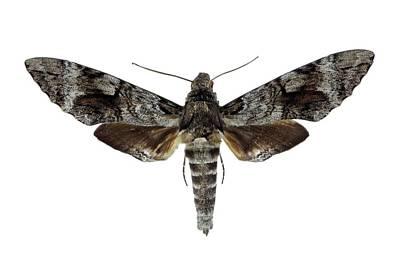 Cut Out Photograph - Tetrio Sphinx Moth by F. Martinez Clavel
