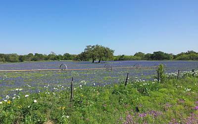 Texas Blue Bonnets Art Print