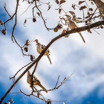 Photograph - Texas Blue Sky Doves by Melinda Ledsome