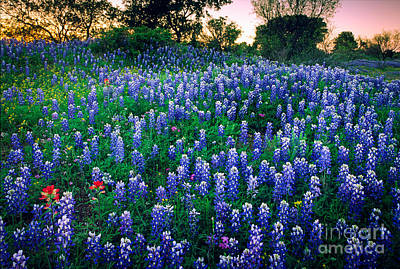 Spring Scenery Photograph - Texas Bluebonnet Field by Inge Johnsson